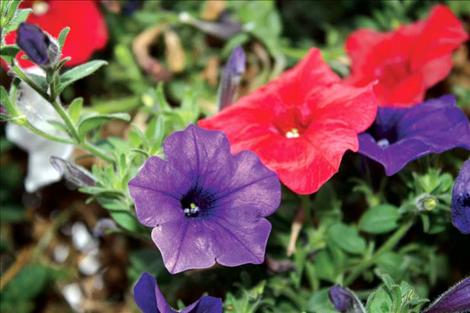 As evidence of Linse's hard work and dedication, brightly colored red and purple flowers adorn Main Street Ronan during the summer months.