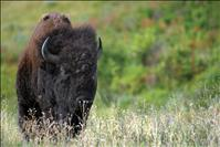 Bison Range shortens visitor hours for fall
