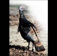 Flathead turkeys safe from feast