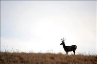 Deer harvest slightly higher than last year in Northwest Montana as season ends