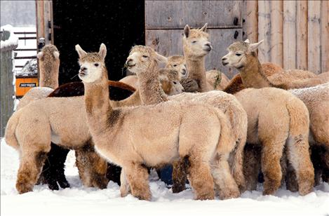 Adolescent alpacas enjoy a morning snack at Black Wolf Ranch near St. Ignatius.