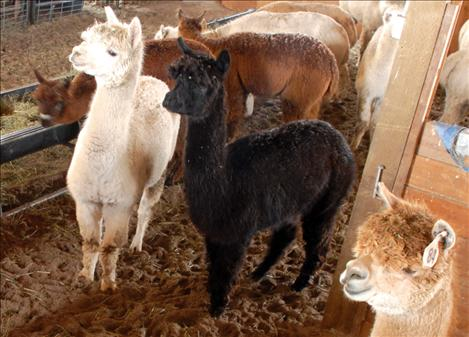 Alpacas prick up their ears to see who is visiting their barn.