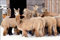 Versatile, varied: Multifunctional ag class visits alpaca ranch