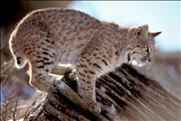 State sees high bobcat trapping numbers