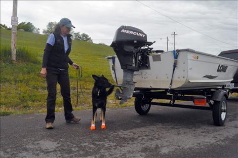 Tia, one of two canines trained to sniff out aquatic invasive species, was on the job Sunday in the checkpoint along Highway 93 south of Ronan.