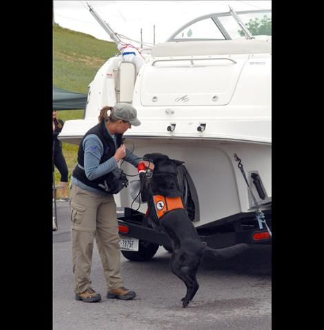 Wicket, one of two canines trained to sniff out aquatic invasive species, was on the job Sunday in the checkpoint along Highway 93 south of Ronan.