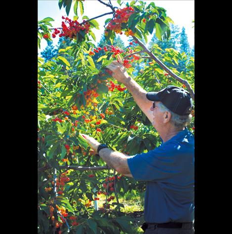 "Dick Beighle prunes a clump of Skenna cherries from one of many of the bushes on his Finley Point orchard. He prunes the undergrown yellow cherries called ""culls"" so healthy cherries can retain nourishment and the pickers obtain mostly these for packaging purposes."