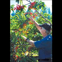 Flathead cherry marketing thrives with Co-op