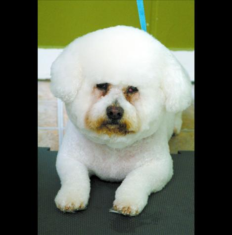 Gizmo keeps his regular appointment at the doggy salon for a shave and rounded cotton top.