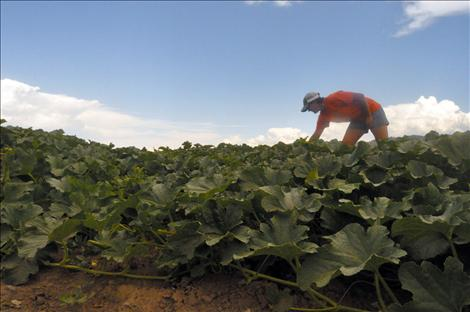 Cassie Silvernale, co-owner of Dixon Melons, Inc., picks melons.