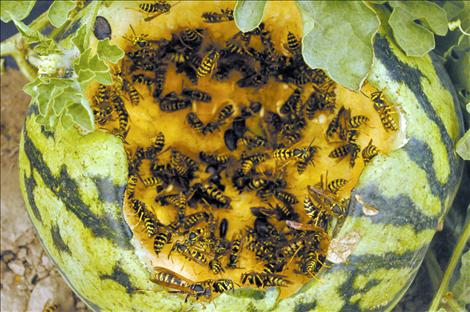 Yellow jackets feed on a melon destroyed by deer.