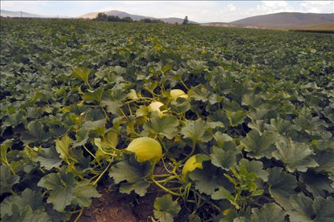 A field of Dixon melons, ripe and ready to be harvested.