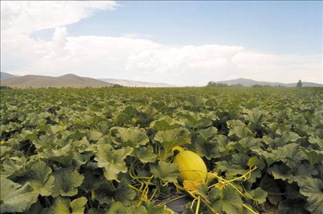 Megan Strickland/Valley Journal Dixon melons are ripe for the picking