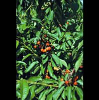 Cherry growers work year-round to ensure safe practices, pest-free fruit
