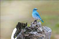 Bluebird conservationists celebrate 40 years of fledging