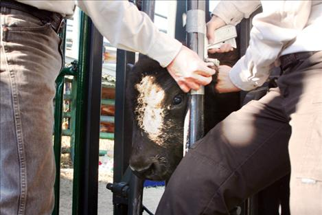 Range staff work on a bison calf in the chute.