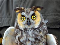 Long-eared owl numbers down