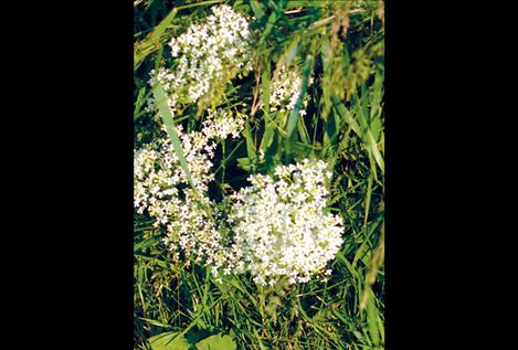 White top is one of several invasive weeds present on the Flathead Reservation.
