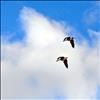 geese fly over Flathead Lake