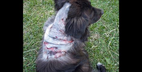 Bea Eder's dog Molly, after a 2010 dog attack.