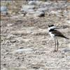 A tiny killdeer blends into the shoreline at Kicking Horse Reservoir, moments before its long legs propelled it to the safety of its mother.