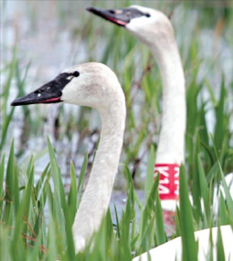 Restoration of trumpeter swans on the Flathead Indian Reservation began in the mid-1990s, and has resulted in at least 100 successful nesting attempts.