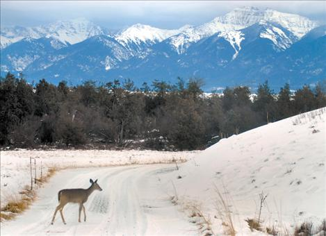 A doe crosses one of the many scenic roads that criss-cross the National Bison Range's beautiful landscape.