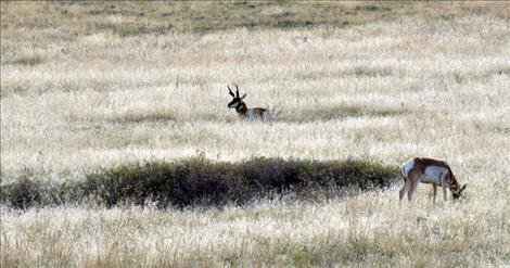 Pronghorns make their home on the National Bison Range with many other animals.