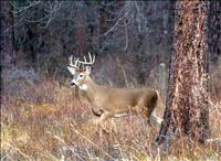 Whitetail population up, wolf harvest down