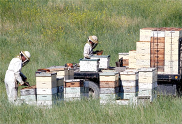 Beekeepers tend their hives on Back Road earlier this month.