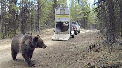 A 3-year-old male grizzly is released in the North Fork of the Flathead drainage on April 11.