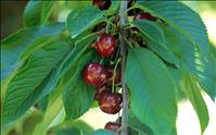 Celebrate choice cherries at festival