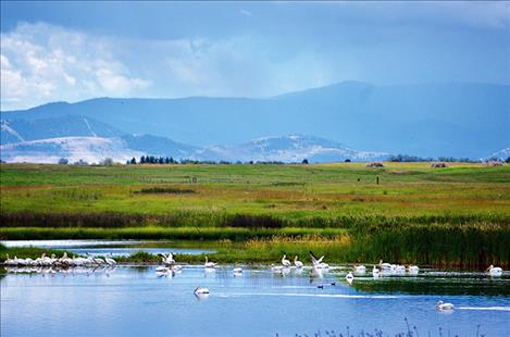 """Unpaired pelicans """"hanging out"""" and foraging in Mission Valley."""