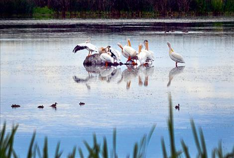 Pelicans on pond near Mission.