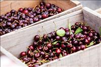 Resources available for cherry growers