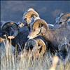 Bighorn sheep put their heads together in the early morning sunlight.