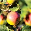 Apples awash in a warm, evening glow await the upcoming fall harvest.