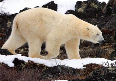 A polar bear strolls along a path near Churchill, Manitoba, Canada. Frank Tyro, SKC professor and volunteer on the arctic ecology field trips for the Great Bear Foundation, has visited Churchill 33 times since 1984.