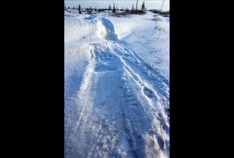 A big polar bear track shows up perfectly in the snow near Churchill.