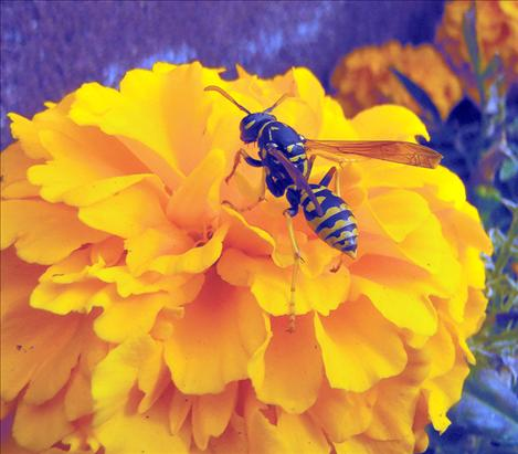 Sixth-grade student Isaak Brown captured a hornet on a flower during a fall outing at Ronan Middle School. Brown and other RMS students will be featured in a photographic art show planned for Jan. 18 at the Ronan Middle School Commons.
