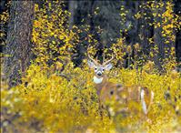 White-tailed deer harvest steady, rut starts