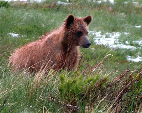 Bluto, a grizzly in the Mission range, fathered 17 cubs with seven mothers.