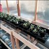 Strawberry and perennial seeds should be sown indoors, early.