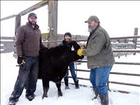 4-H market beef project members weigh in steers to begin their year