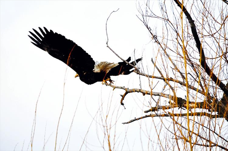 A bald eagle departs from its tree-top perch along a back road of St. Ignatius.