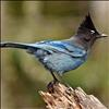 According to the Audobon Society, the Stellar's Jay is a common bird of western forests and is most numerous in dense, coniferous mountain woods. Crows, magpies and jays are part of the same family of bird.