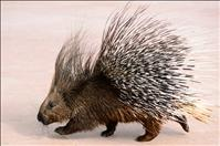 Where have all the porcupines gone?