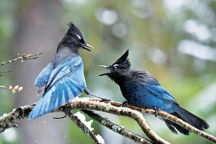 """... you say what?""  Two stellar jays engage in a lively conversation."