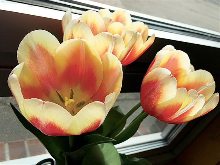 Tulips on the windowsill brighten a classroom in Linderman Elementary School.