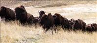 Bison range management changes course
